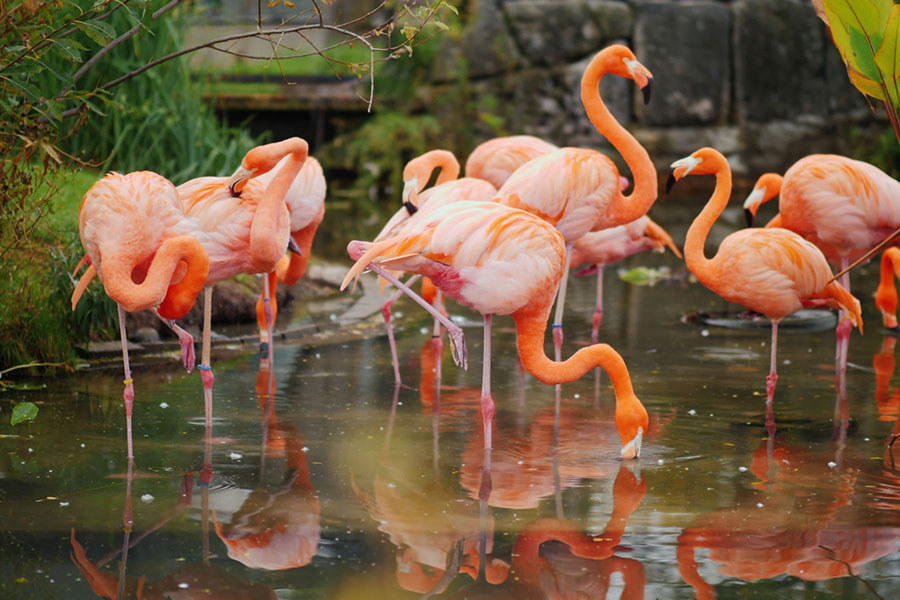 Flamingo birds